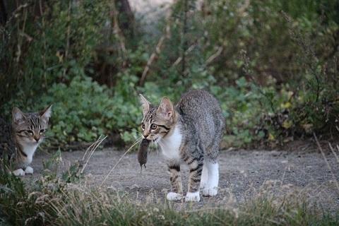ネズミを捕獲するネコ