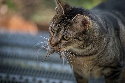 ネズミを捕獲するネコ2