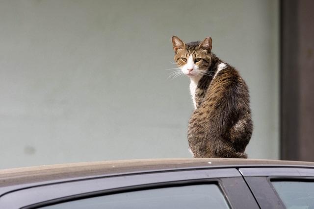 車の上に乗ってしまう猫の写真