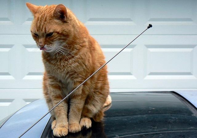 車に乗っかる猫