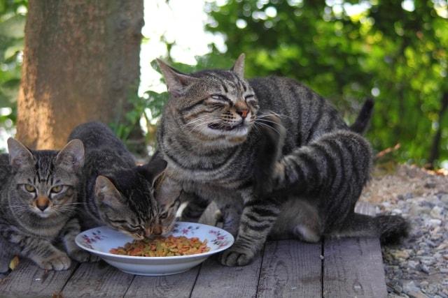 餌を食べる猫達