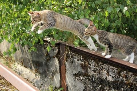親からジャンプを教わるネコの写真