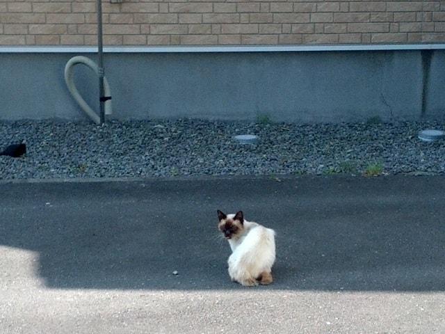 シャム猫っぽい野良の写真