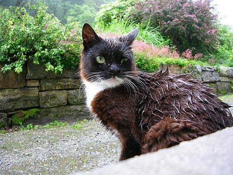 濡れた猫の画像