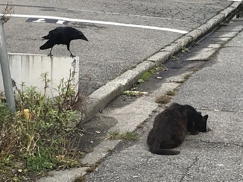 カラスと猫