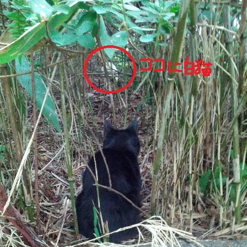 ビビる黒猫、白いボス猫行く手を遮る