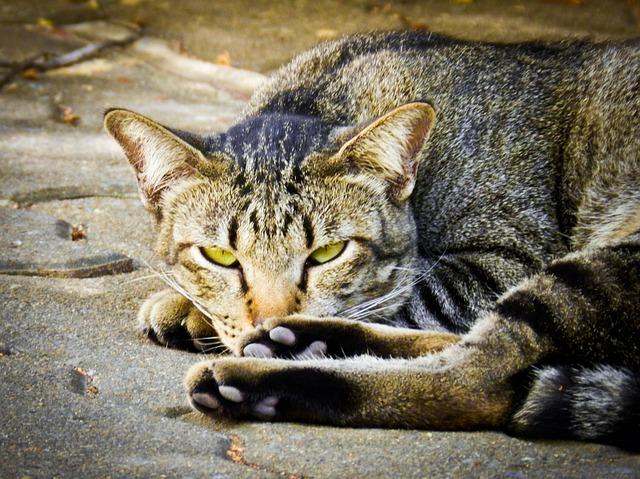 目 つきの 悪い 猫